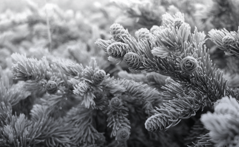 A photo of a pine branch with small pinecones.